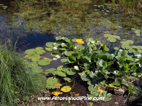 Fiori acquatici for Fiori acquatici